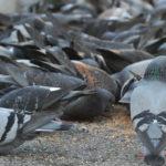 Migliori repellenti per piccioni