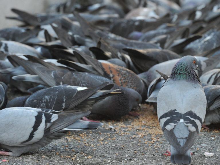 prodotti efficaci conto i piccioni